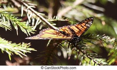 бабочка, канада, святилище, вернуть, usa, мексика, год, удивительно, butterflies, каждый, монарх, где, millions