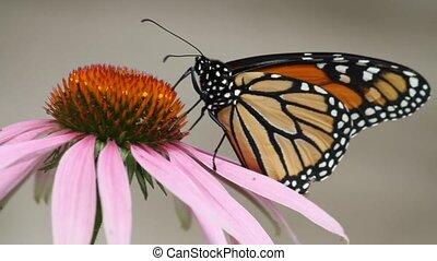 бабочка, монарх, цветок, конус
