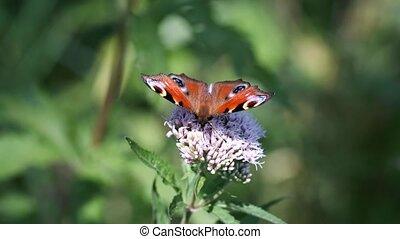 бабочка, павлин, hindheel, -, макрос