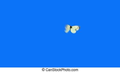 бабочка, синий, белый, летающий, задний план