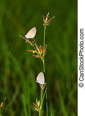 бабочка, трава, два
