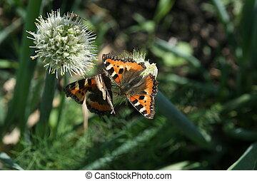 бабочка, allium, flowered, два, сыпь