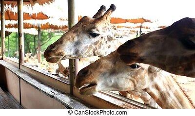 бангкок, giraffes, park., thailand., сафари, hd., feeds, 1920x1080, человек