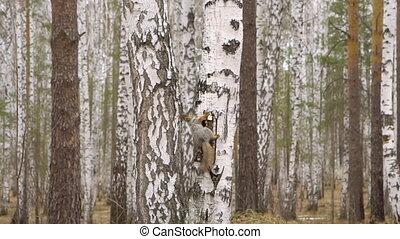 белка, лес, весна, время, береза