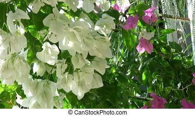 белый, бугенвиль, цветок