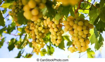 белый, виноград, вино