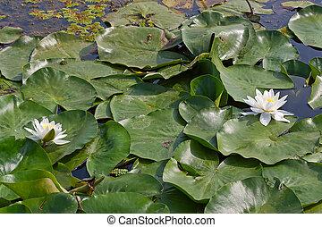 белый, водяная лилия