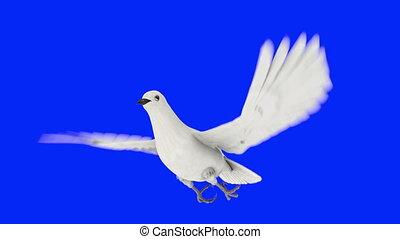 белый, голубь