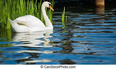 белый, лебедь