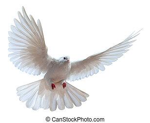 белый, летающий, голубь, isolated, свободно