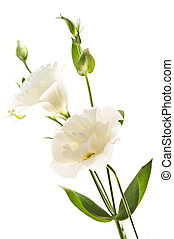 белый, цветы, isolated