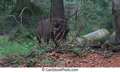 бизон, лес, европейская