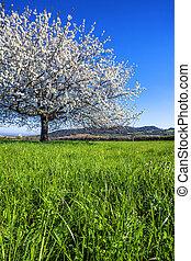 большой, белый, blossoming, дерево