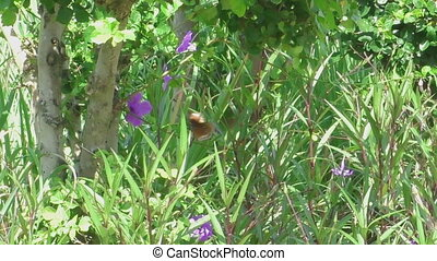 большой, коричневый, бабочка