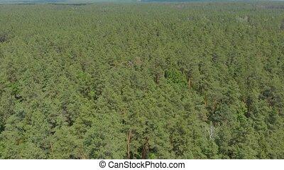 большой, лес, сосна, зеленый