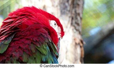 большой, попугай, ара, зеленый, ара, chloroptera, красный