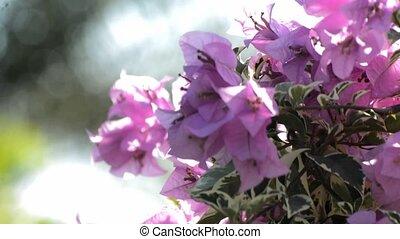бугенвиль, цветок