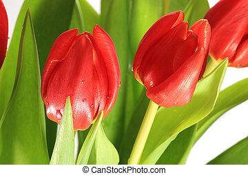 букет, tulips, воды, свежий, covered, drops