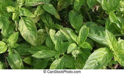 бэзил, растение