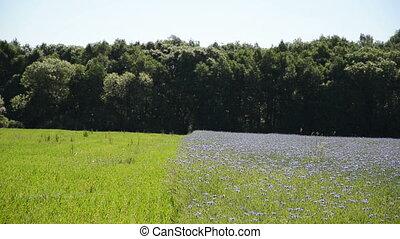 василек, лес, поле