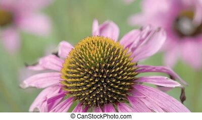 василек, цветок, смотреть, пурпурный, вверх, закрыть, бутон