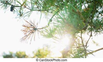 вверх, закрыть, ветви, дерево, сосна, солнечный лучик