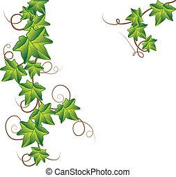 вектор, зеленый, плющ, иллюстрация