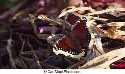 великолепный, бабочка, плащ, образец, траур