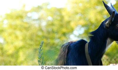 веселая, молодой, grazes, черный, деревня, трава, козел