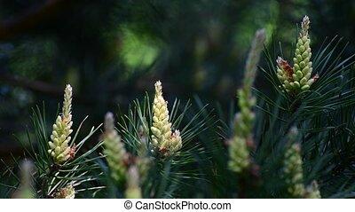 весна, веточка, cones, сосна, молодой