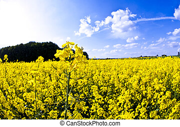 весна, желтый, изнасилование, поле