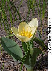 весна, желтый, тюльпан