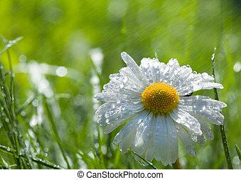 весна, заем, после, дождь, маргаритка