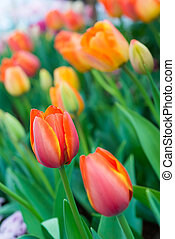 весна, красочный, тюльпан