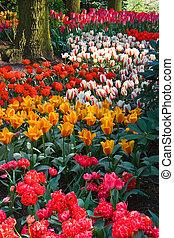 весна, красочный, tulips
