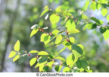 весна, листва, береза