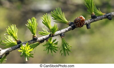 весна, лиственница