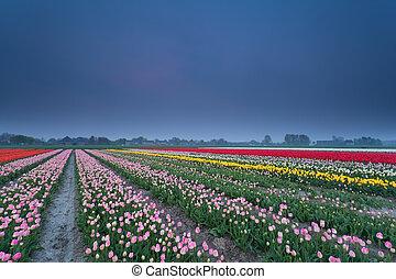 весна, поле, красочный, тюльпан