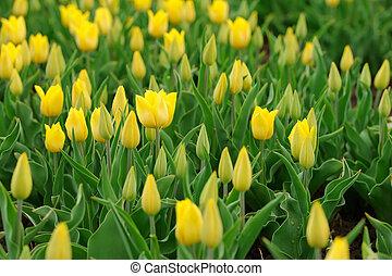 весна, поле, tulips