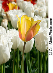 весна, природа, желтый, тюльпан