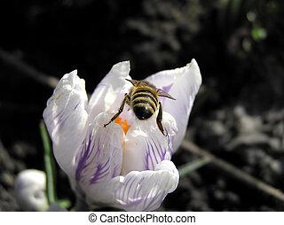 весна, пчела