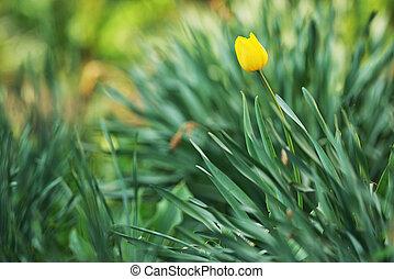весна, сад, желтый, тюльпан