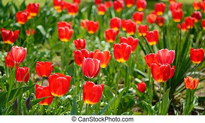 весна, солнечно, день, красный, tulips