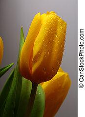 весна, три, желтый, tulips
