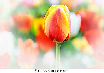 весна, тюльпан
