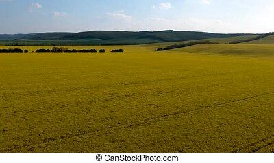 весна, цветение, рапсовое, желтый, поле