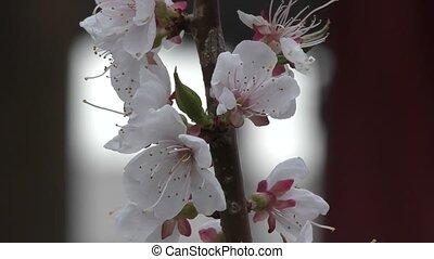 весна, цветы, абрикос