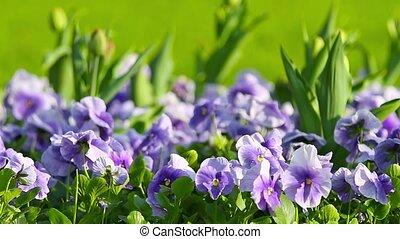 весна, цветы, анютины глазки