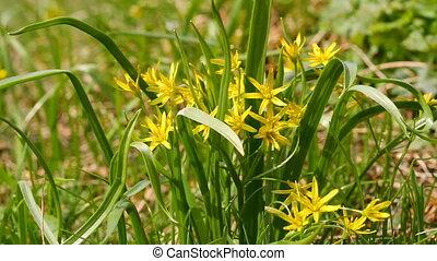 весна, цветы, желтый