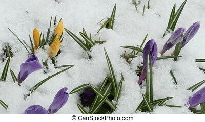 весна, цветы, крокус, первый